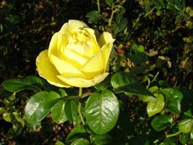 Quelques conseils pour débutantes: ( jardinage ) - Page 4 Grandes-fleurs-marcel-proust