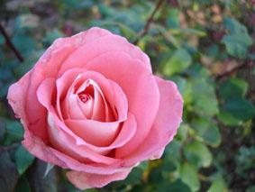 Quelques conseils pour débutantes: ( jardinage ) - Page 4 Grandes-fleurs-prestige-lyon