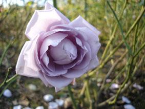 Quelques conseils pour débutantes: ( jardinage ) - Page 4 Grandes-fleurs-sissi