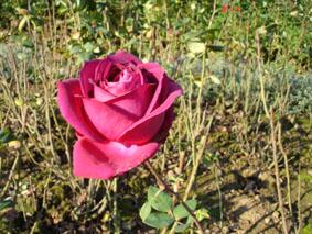 Quelques conseils pour débutantes: ( jardinage ) - Page 4 Grandes-fleurs-stephens-big-purple