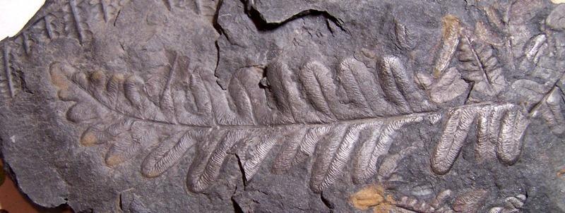 Alethopteris Sternberg 1825. Fossiles_09vyq72hag486npkfc39