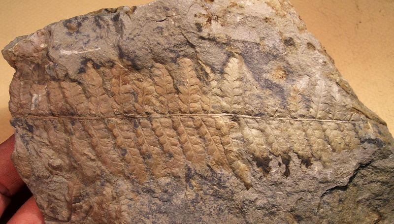 Sphenopteris du Stéphanien B Fossiles_0p1ye0cwma79qde692fb