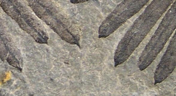 Calamites Schlotheim ,1820.  Annularia sternberg , 1822 .  - Page 2 Fossiles_1j3s0sxcgt2vu6khdt67