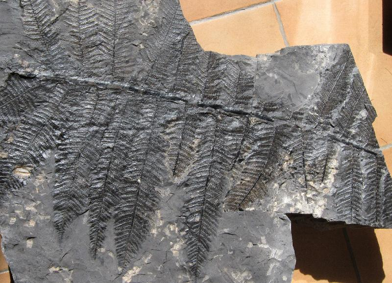 Pecopteris (Brongniart ) , Sternberg 1825. Fossiles_1ml0ysd713rcg0xbq8yp