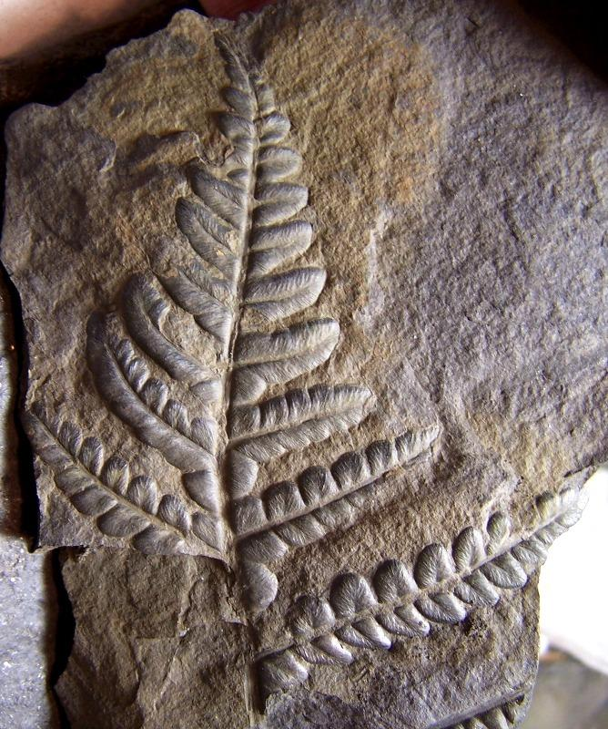 Callipteridium   Weiss , 1870 . Fossiles_1tyx8kras198jvg7wflz