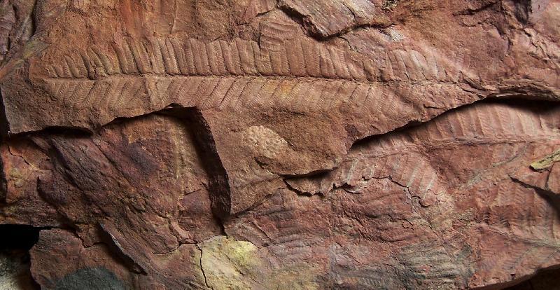 Pecopteris (Brongniart ) , Sternberg 1825. Fossiles_1z6721gz9x2n94fr5tqe