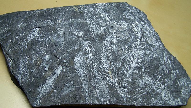Les fossiles de St Clair ,Pennsylvanien des USA  Fossiles_2vce0dzf7a7gyqm9lw5r