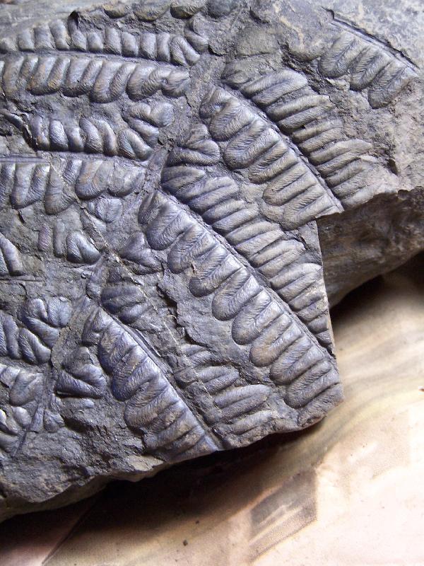Callipteridium   Weiss , 1870 . Fossiles_2vp8gjhnqed3vg6lx1au