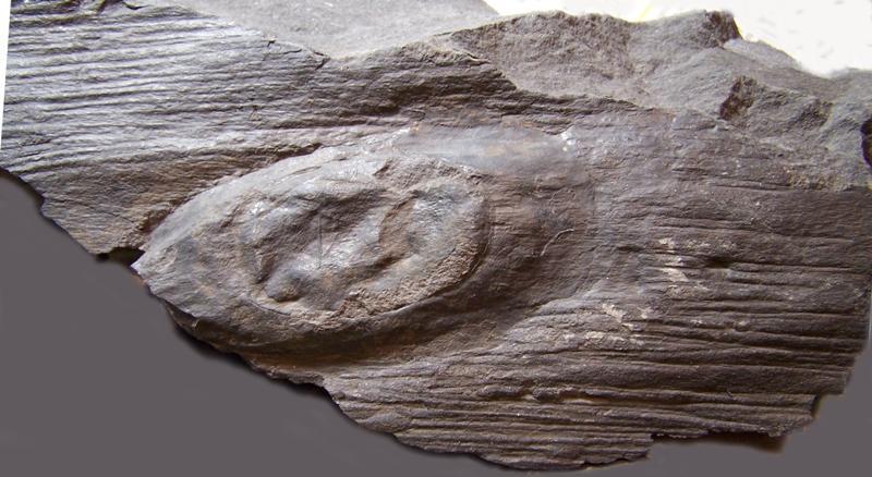 Ptychopteris Corda , 1845 . Fossiles_319ypd7ujydb62xqgt6c