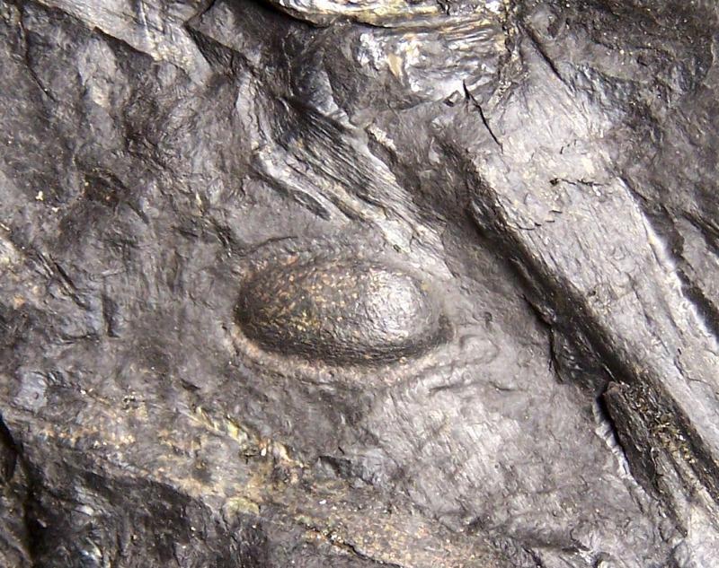 Trigonocarpus  Pachytesta  Hexagonocarpus  Fossiles_31m6tcuh5nwmrcras4hv