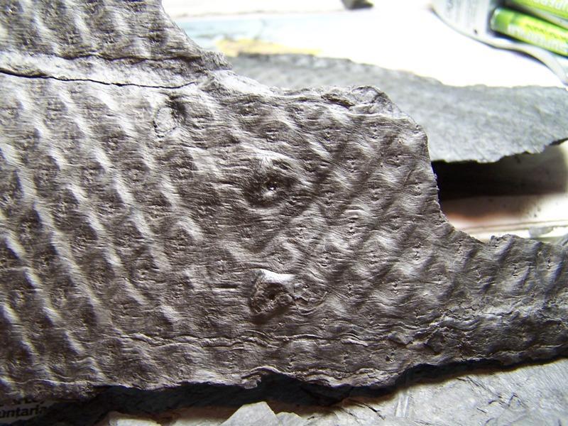 Sigillaria et zone d'insertion des sigillariostrobus - Page 2 Fossiles_3egn5jrvxyqkeb9t849z