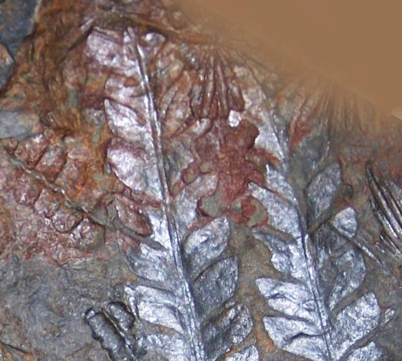 Walchia piniformis Fossiles_3v3x7rtbzn986jng507d