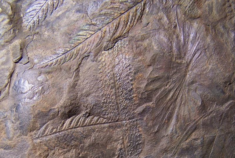Senftenbergia grunerii Fossiles_4ejs2fzjgvrpw3lkvb0x