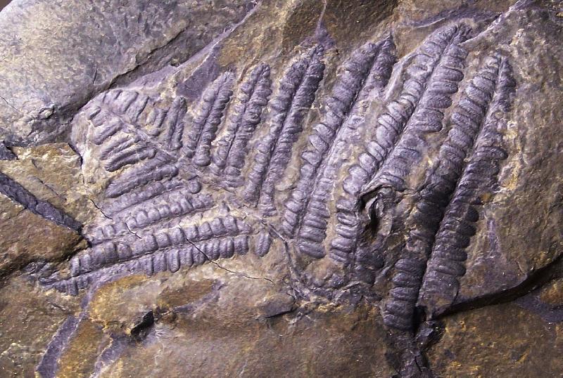 Pecopteris (Brongniart ) , Sternberg 1825. Fossiles_4tqxbxka5ubduhc1fras