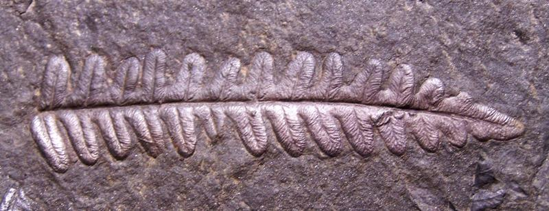 Alethopteris Sternberg 1825. Fossiles_4vy6wun0s8w0xatzyquv