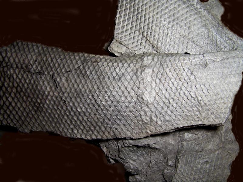 Sigillaria et zone d'insertion des sigillariostrobus - Page 2 Fossiles_57l1u232yazs1efq9446