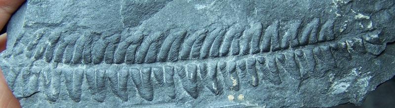 Callipteridium   Weiss , 1870 . Fossiles_57pc8nqztzem5s7v6a2t