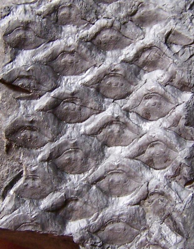 Sigillaria Brongniart ,1822. Syringodendron Sternberg,1820.  - Page 2 Fossiles_5h967g7cn5v2rkfabftl