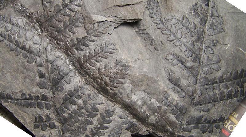 Pseudomariopteris busquetii Fossiles_5lmtfj0z7a6zb7wuh8ep
