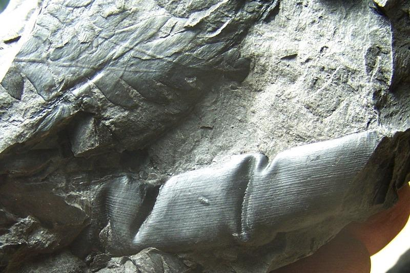 Odontopteris Brongniart , 1825 . Fossiles_6qxlp6ekx0tyd5nlwgg8