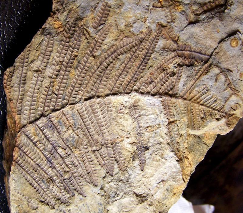 Pecopteris (Brongniart ) , Sternberg 1825. - Page 2 Fossiles_72f1s52ycjk94p0adesu