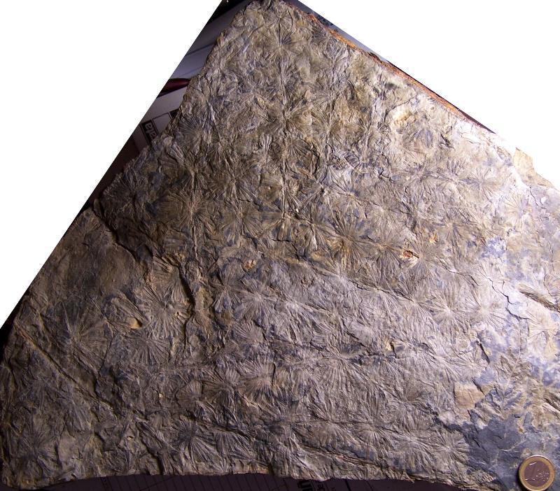 Calamites Schlotheim ,1820.  Annularia sternberg , 1822 .  - Page 3 Fossiles_7dtpzuprhvcfs689e5qg