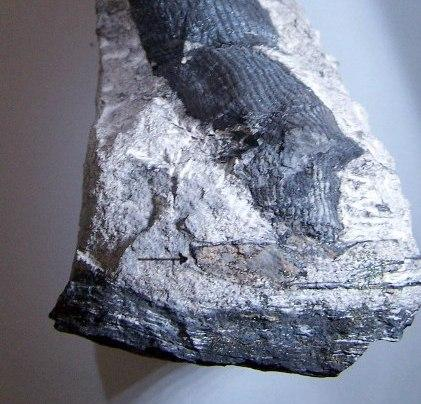 Cordaites Unger , 1850. Fossiles_8hzga9meduxb64r4n0g2