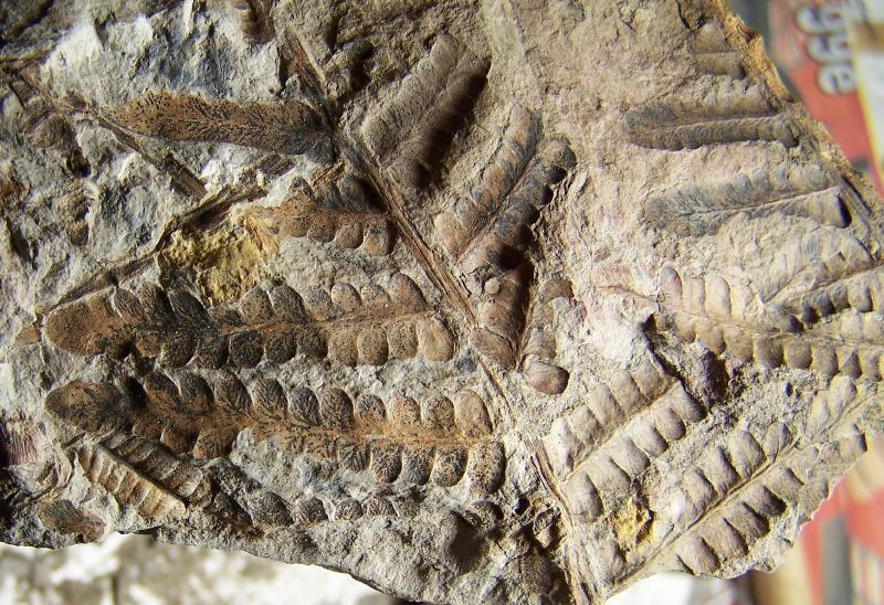 Pecopteris (Brongniart ) , Sternberg 1825. - Page 2 Fossiles_8j5pe5m08n1bax9umsj4