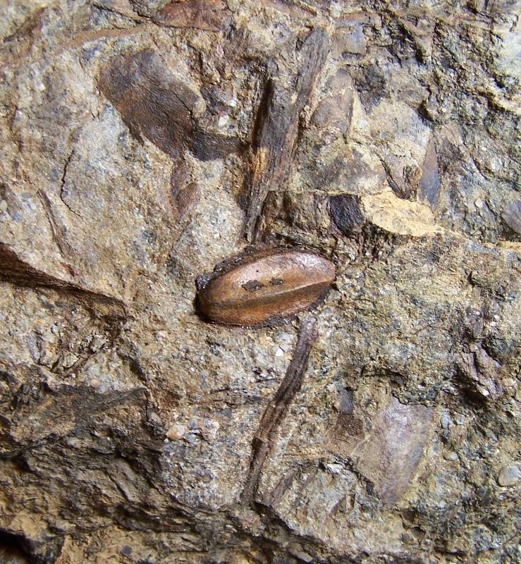 Trigonocarpus  Pachytesta  Hexagonocarpus  Fossiles_9a1fhkgv3d3rxs65we1j