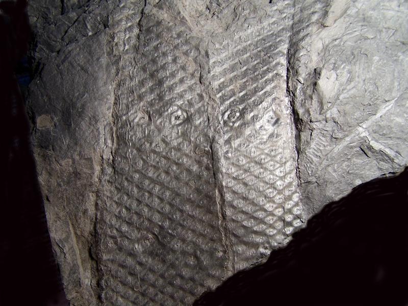 Sigillaria et zone d'insertion des sigillariostrobus - Page 2 Fossiles_9am9t0denz61jlktfvsh