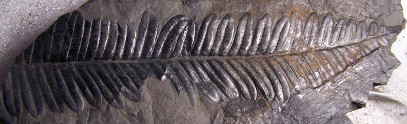 Alethopteris Sternberg 1825. Fossiles_9lmsyphwrq5jf8e8pb0b