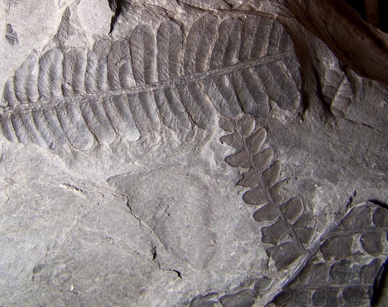 Pecopteris (Brongniart ) , Sternberg 1825. - Page 3 Fossiles_9n5k4x7uu0gefzmh86pc