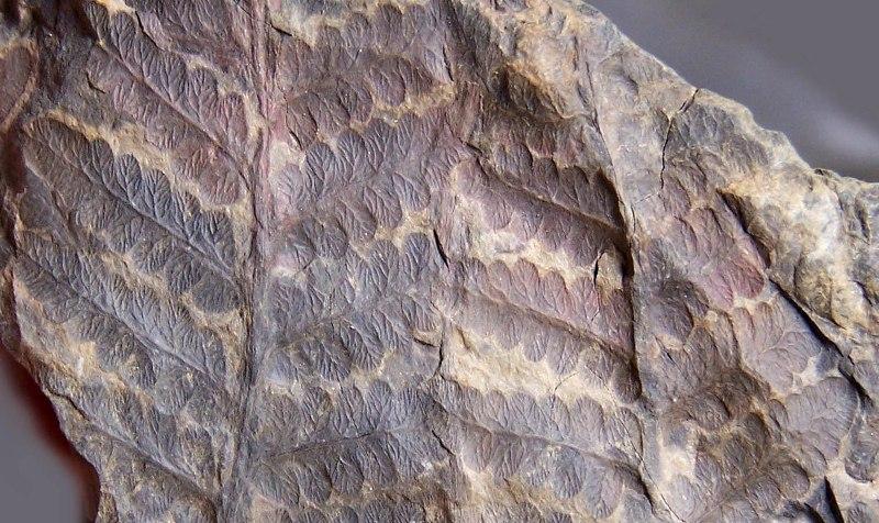 Oligocarpia Goeppert , 1841. Fossiles_a1mrk3m4728vpcx5fqz9