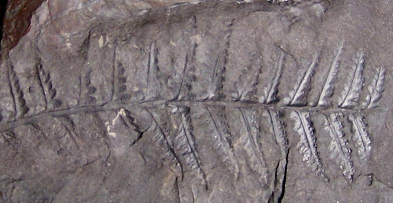 Corynepteris Baily , 1860 .  Fossiles_a9p45t351wv1zu24sbrj