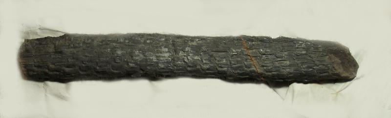 Calamites Schlotheim ,1820.  Annularia sternberg , 1822 .  Fossiles_as7m1z7q65s05fter3ku