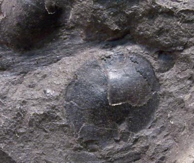 Cordaites Unger , 1850. Fossiles_asm957gx04tkyblhsl3r