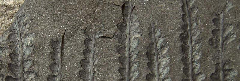 Sphenopteris du Stéphanien B Fossiles_bjsp150sex243qduzjn5