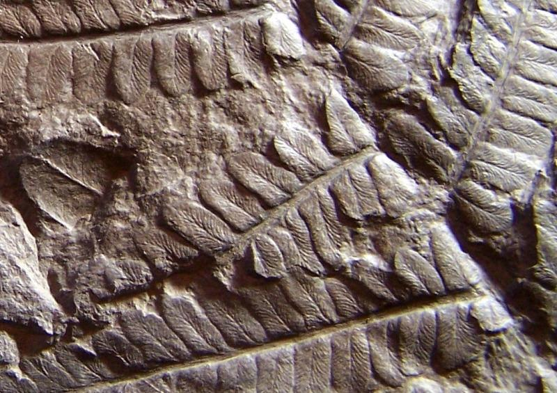 Polymorphopteris polymorpha Fossiles_c9qhy8z36rkwm9cy4p57