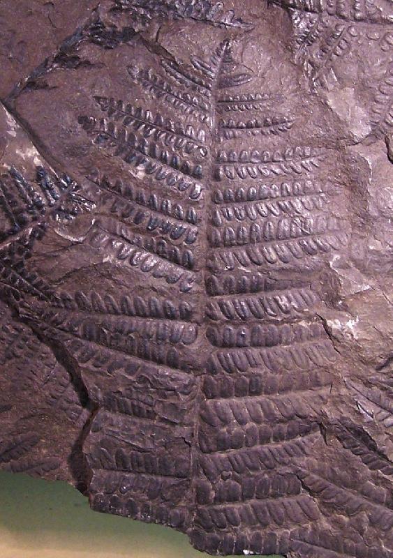 Polymorphopteris polymorpha Fossiles_dmy08vr9bz7nfa28rcuj