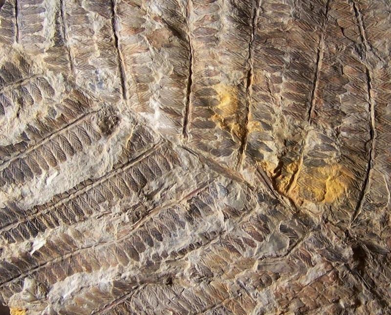 Nemejcopteris feminaeformis Fossiles_dy9b73l8uv7de2g5h2rq