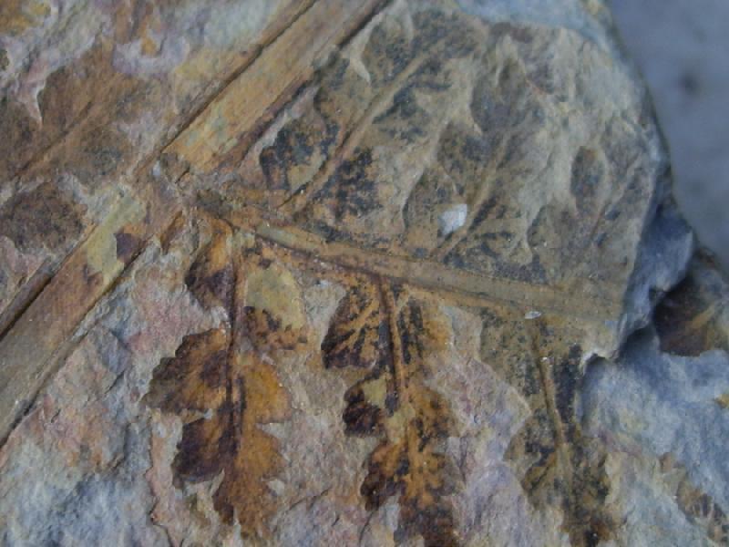 Dicksonites Sterzel , 1881. Fossiles_dyr7pzg8edru8mapnwfs