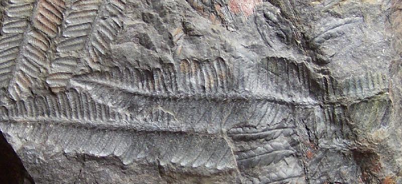 Pecopteris (Brongniart ) , Sternberg 1825. Fossiles_e04sr1lkhl5jsqbtcekg
