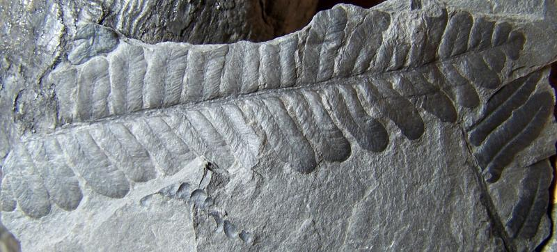 Pecopteris (Brongniart ) , Sternberg 1825. - Page 3 Fossiles_e81vxrmzvuktlndpr5h4
