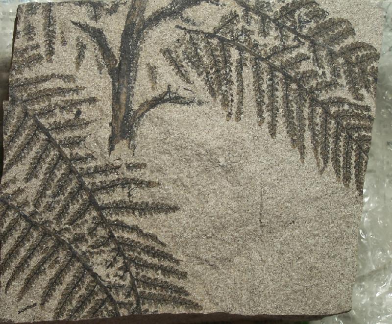 Pecopteris (Brongniart ) , Sternberg 1825. Fossiles_f4kq9gm2ev51974m32jp
