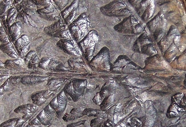 Callipteridium   Weiss , 1870 . Fossiles_f52rn31yzp54ndvsfdxb