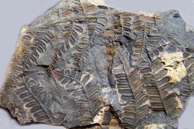 Pecopteris (Brongniart ) , Sternberg 1825. - Page 2 Fossiles_f8u8kj3et5ef6a723x4x