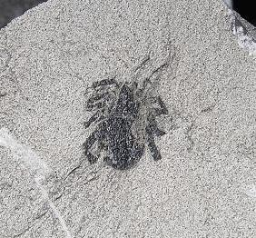 Walchia piniformis Fossiles_fjue21r7kfar4h6nmxpk