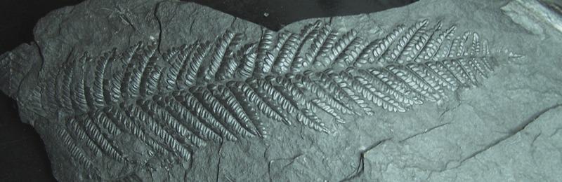Polymorphopteris polymorpha Fossiles_g564dnaevw1meb3lpfv5