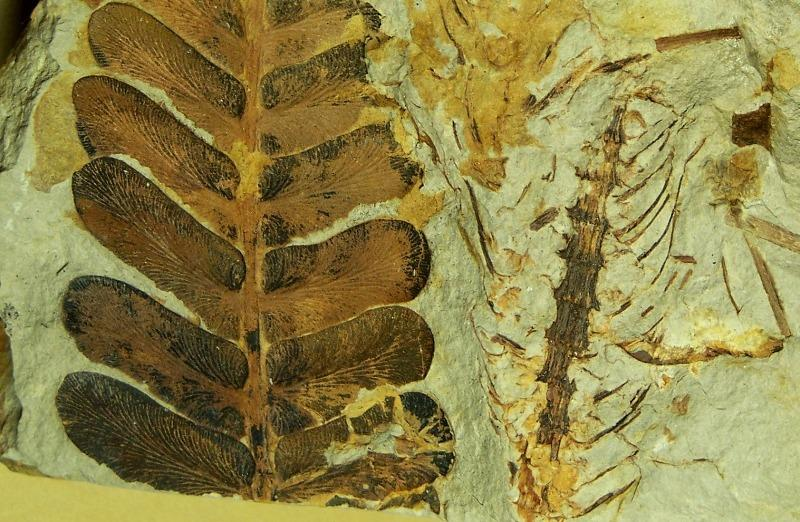 Calamites Schlotheim ,1820.  Annularia sternberg , 1822 .  - Page 2 Fossiles_gmhdb6l75l4urzkyesz2
