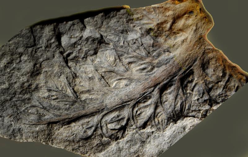Aphlebia Presl , 1838 . Fossiles_gp39ltn1bl68vu0szfg5